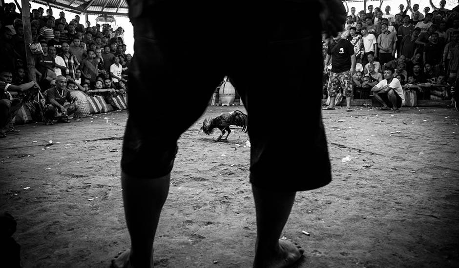 FOTO: Špinavé peniaze, zároveň fér hra. Nelegálne zápasy kohútov na Bali